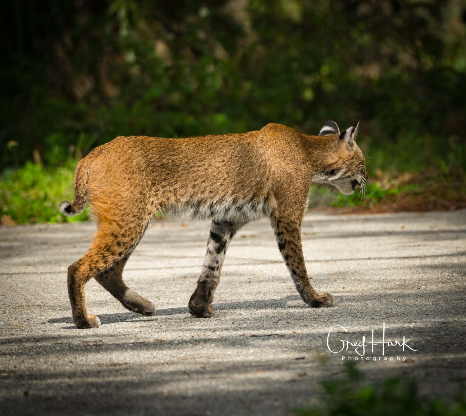 Bobcat, Loxahatchee National Wildlife Refuge Bob Cat, EVERGLADES CITY, Everglades-Loxahatchee-Bob-Cat, flowers, HURRICANE, Kayaking, Loxahatchee, sun, Sun Testing,