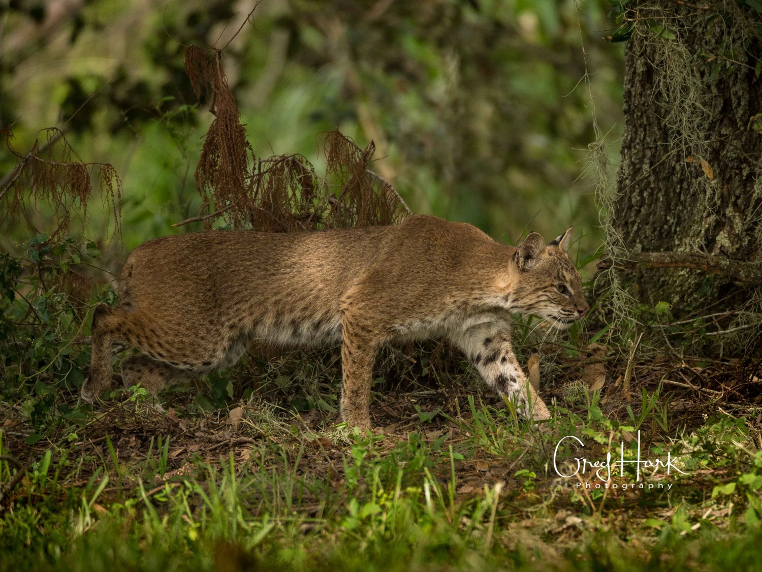 Bobcat, Loxahatchee National Wildlife Refuge Bob Cat,EVERGLADES CITY,Everglades-Loxahatchee-Bob-Cat,HURRICANE,Kayaking,Loxahatchee,Sun Testing,flowers,sun,