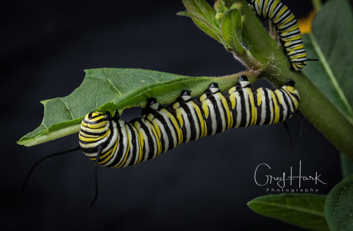 Caterpillar Feeding Butterfly, Caterpillar, Caterpillar Copperleaf, caterpillar feeding, caterpillar, butterfly,