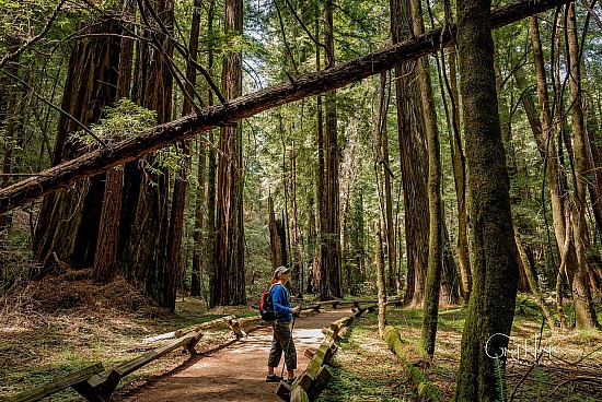 Armstrong Redwoods State Natural Reserve - Prints for sale